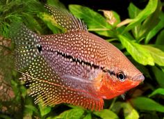 freshwater tropical angelfish - Google Search