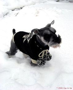 Schnauzer in the snow, in a cute sweater