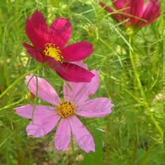 Rain Sensation Mix Cosmos Seeds Flower Heirloom Rain Sensation Mix ...