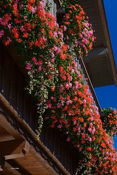 This reminds me of all the beautiful geraniums cascading out of European window boxes.