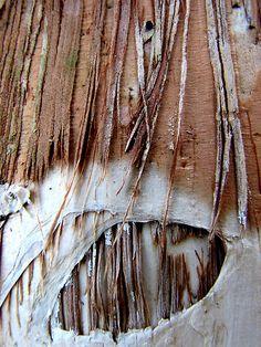 Macro photograph from an Australian paperbark tree by Kathy Nichols