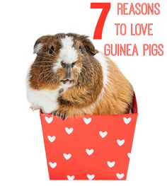 Pawsitively Pets: 7 Reasons to Love Guinea Pigs Pretty And Cute, Guinea Pigs, Adoption, Love, Pets, Animals, Articles, Foster Care Adoption, Amor