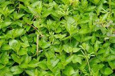 Pentru creșterea părului, spălăturile cu urzică fac cu adevărat minuni. Pentru întărirea rădăcinii părului, se poate folosi tinctură de urzică sau ceai de rădăcini de urzică.