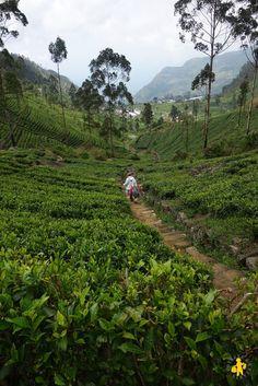 2015.02.25 Sri Lanka Haputale plantation thé
