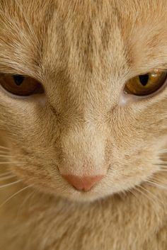 Beautiful ginger kitty -.-