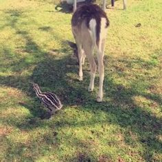 Emu chick enjoying the outdoors with his deer and lamb friends