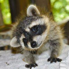 Curious baby raccoon.