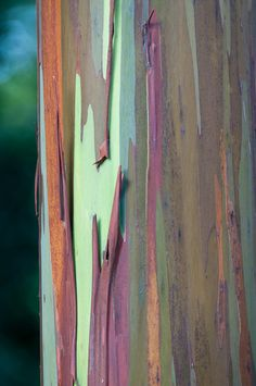 Colorful Bark of Rainbow Eucalyptus: Eucalyptus deglupta [Family: Myrtaceae] Nature Artwork, Abstract Nature, Patterns In Nature, Textures Patterns, Rainbow Eucalyptus Tree, Tree Bark, Mellow Yellow, Mother Nature, Still Life