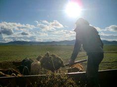 Alimentando al ganado vacuno extensivo