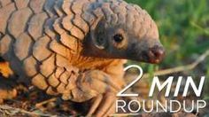 Leveled Literacy Intervention Red Box Video: Red Lesson 112  World's Weirdest - Pangolin