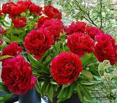 NEW! Paeonia Henry Bockstoce.The cardinal-red color alone would make this Peony an impressive addition to any garden, but the large size of its fully double flowers secure its status as a standout. Although held on sturdy stems, these magnificent blooms may need staking to protect them from wind and rain. Blooms early.