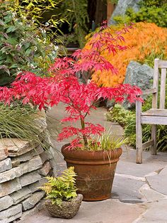 planting japanese maple in containers - Google Search
