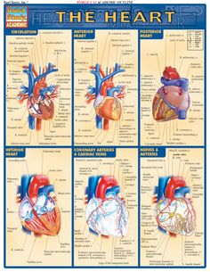 The Heart. Complete labeled illustrations of the sections of the heart and their functions. Illustrations by award-winning medical illustrator Vince Perez. This guide includes detailed diagrams of: circulation, anterior heart, posterior heart, interior heart, nerves and arteries, beginning of diastole, end of diastole, systole, end of systole, heart in diastole, and heart in systole. www.examville.com... #medicine #health #nursing #science #anatomy #teachers