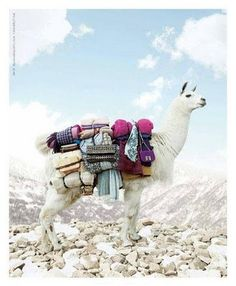 Let's run away on alpacas. Nature Animals, Farm Animals, Animals And Pets, Cute Animals, Alpacas, Funny Llama, Cute Llama, Llama Face, Llama Llama