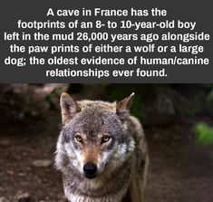 Pin by john kassai on wolf's Wolf Quotes, Animal Quotes, Animal Memes, Cool Science Facts, Wtf Fun Facts, Crazy Facts, Animals And Pets, Funny Animals, Cute Animals