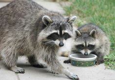Google Image Result for http://www.myraccoons.com/images/raccoon-mom-and-baby-0567.jpg