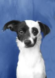 Cleopatra is an adoptable Rat Terrier Dog in San Francisco, CA. See more pictures of this sweety, click here: Cleopatra Hello I'm Cleo. I'm just a tiny little girl, 7 lbs and about 9 inches tall. Im o...