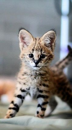 Servals Are Awesome Creatures.  I have an F-2 Savannah ... who is 2nd generation from an African Serval.  His grandfather is a Serval!!!!  Or shall I say ... WAS  may he RIP.