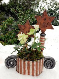 Christrose (christmas rose) mit Pflanzgefäß und Weihnachtssterne