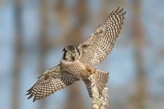 Sperbereule - Northern Hawk Owl by Mike Lentz Photography