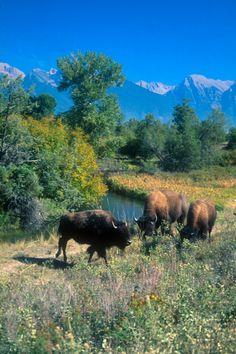 National Bison Range, Photo Credit: Travel Montana/Susan Albrecht