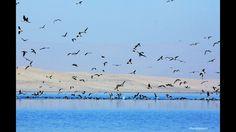 """""""Miles de aves se alimentan en la Reserva Nacional de Paracas en el Perú"""""""