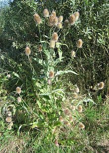 A number of medicinal properties are claimed for the teasel,[citation needed] though not proven in medical trials:    Cure of Lyme disease  Antibiotic  Improved circulation  Cure for warts