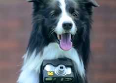 Grizzler the border collie became the world's first canine photographer, aka pho dog rapher, when Nikon equipped him with a special camera that takes pictures when his heart rate goes up Dog Heart Rate, Pet Camera, Camera Case, Camera Gear, Cameras Nikon, Tastefully Offensive, Dog Wear, Photo Heart, Get Excited