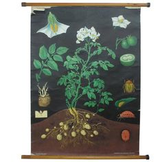 German Educational Poster of Corn | Decoration, Poster and Wall ...