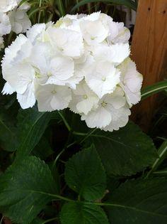 Hortensias Color Blanco
