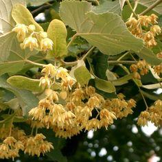 tilia cordata Good To Know, Diy And Crafts, Flora, Landscape, Vegetables, Healthy, Pandora, Plant, Medicine