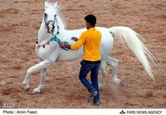 Persian Asil / Straight Iranian horse show