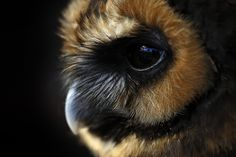 Saisissant... Chouette Leptogramme, photo de Linda Wright ____________________________________ Deep in your eyes... Brown wood owl, photo by Linda Wright