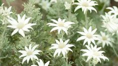 Plant guide: Flannel flowers - need smoke and ash to germinate. After planting seed, put leaves and grass on top of pot and set alight - catalyst for germination. Bush Garden, Flannel Flower, Australian Native Garden, Plant Guide, Winter Flowers, Planting Seeds, Flower Seeds, Garden Design, Grass