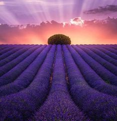 Lavender   ∞∞∞∞∞∞∞∞∞∞∞∞∞∞∞∞∞∞∞∞∞∞∞∞∞∞∞∞   Sunset   ∞∞∞∞∞∞∞∞∞∞∞∞∞∞∞∞∞∞∞∞∞∞∞∞∞∞∞∞   Sunrise   ∞∞∞∞∞∞∞∞∞∞∞∞∞∞∞∞∞∞∞∞∞∞∞∞∞∞∞∞ #LavenderFields