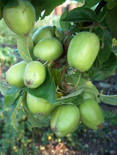 Doddin Apples - A rare apple variety found only in Redditch, Wolchestershire, England is a small size apple but has a sweet taste