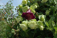 КОБЕЯ (СОВАЕА)   http://flower.onego.ru/liana/cobaea.html  Лиана, однолетник, солнце, полутень.