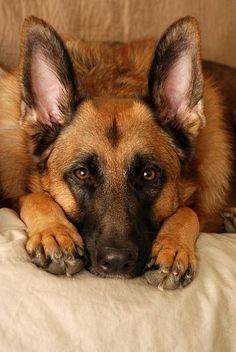 .#German #Shepherd #Dogs                                                       …