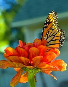 Orange zinnia and monarch butterfly Beautiful Butterflies, Beautiful Flowers, Colorful Roses, Butterfly Kisses, Butterfly Frame, Butterfly Flowers, Foto Art, Belleza Natural, Monarch Butterfly