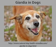 Giardia affects the digestive system and can cause diarrhea and vomiting in dogs. This page looks at how a dog can become infected, the symptoms of infection, and how some natural home remedies can help a dog with giardia. Medication For Dogs, Cats And Cucumbers, What Kind Of Dog, Oils For Dogs, Dog Eyes, Dog Leash, Dog Life, Cats And Kittens
