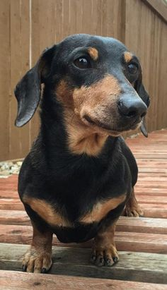 Doesn't look much like Chief companion Cocoa but it's still a dachshund. Subscribe to Chieftube!