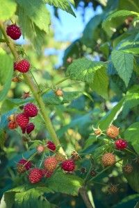 raspberry growing tips