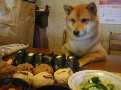 hungry shiba inu