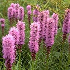 Tall and slender liatris - Reminds me of home!