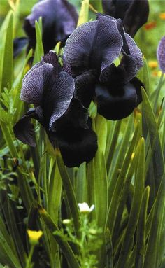 Black Iris, now there's something you don't see everyday! So lovely
