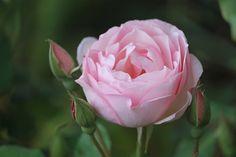 duchess de brabant   Duchesse de Brabant has been named an EarthKind rose. Photo by Kathie ...