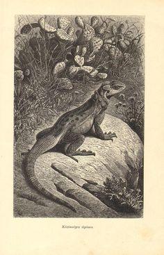 1907 Stellion Hardim Hardun or Star Lizard  Stellagama