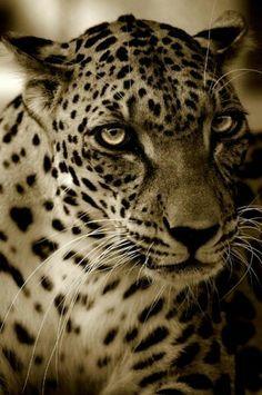 Leopardo arabo Panthera pardus nimr