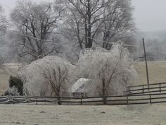 These are Weeping Willow trees in the January 2009 ice rain
