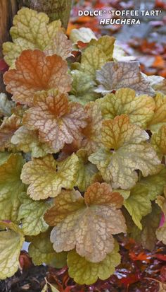 A sweet treat for the shade garden! New foliage on 'Toffee Tart' Heuchera come in a beautiful amber color, maturing to ginger and finally green in late summer. Creamy flowers appear in early summer, attracting bees and butterflies. The effect is quite pretty with the varying caramel tones that play off the greens found in a typical shade garden. Perfect for brightening up landscapes or as a filler in container gardens. This North American native perennial is deer resistant and salt tolerant.